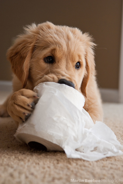 A four-month-old golden retriever puppy plays with a roll of toilet paper