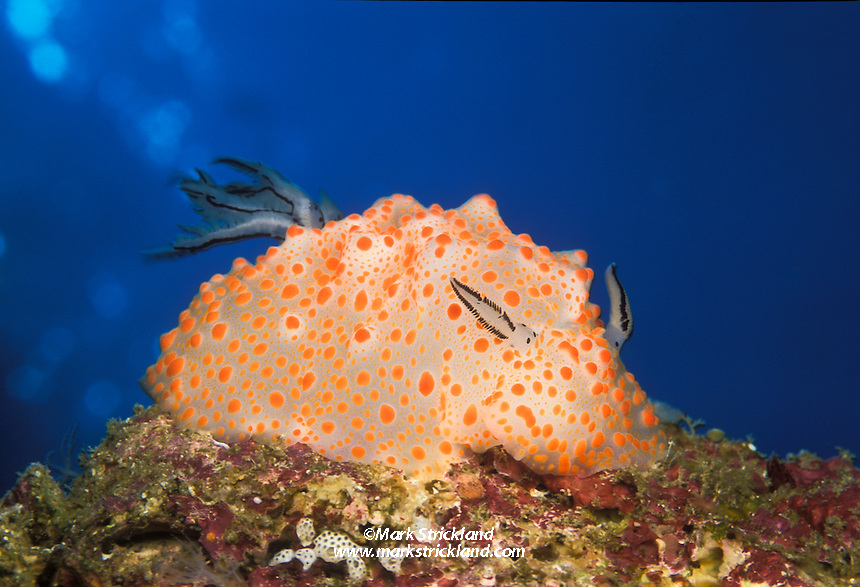 This colorful nudibranch, Halgerda stricklandi, was scientifically described in 1999. Mergui Archipelago, Burma, Andaman Sea