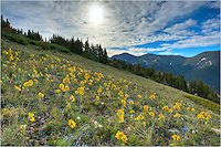For this Colorado Wildflower image, I wanted to try something different. After a slog up nearly 2000 vertical feet, though a swampy forest, and up a steep boulder field, I found this slope along the Continental Divide filled with mountain sunflowers, also called &quot;Old Man of the Mountain.&quot;<br />
