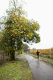 USA, California, Sonoma, a man runs past a mature fig tree in the rain, the Sonoma bike path