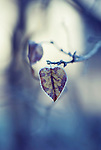Close up photo of a heart shaped lonely dead leaf on a branch covered in frost