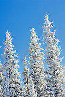 Hoar frost on trees near Anthony Lakes. Oregon