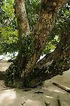 Palau, Micronesia -- Mangrove tree on Ulong Island.