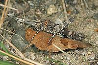 Blauflügelige Ödlandschrecke, Paarung, Kopula, Kopulation, Blauflüglige Ödlandschrecke, Ödland-Schrecke, Oedipoda caerulescens, blue-winged grasshopper, copulation, pairing