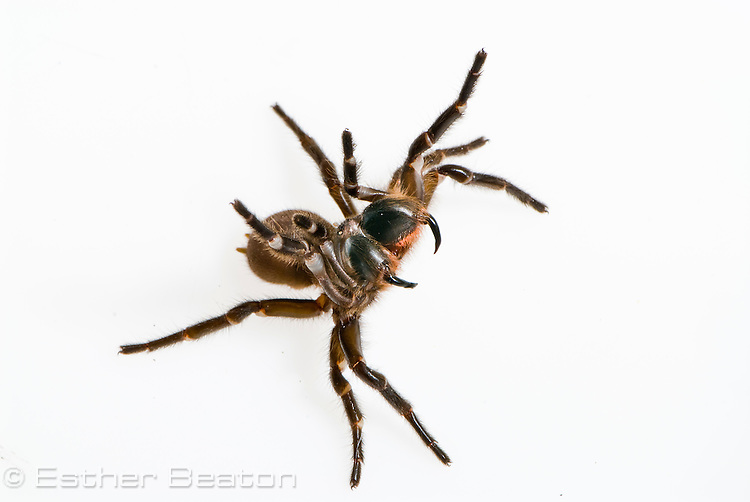 Sydney Funnelweb spider (Atrax robustus) male, New South Wales, Australia