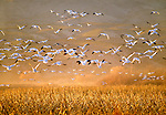 Snow geese in flight, Bosque del Apache NWR, New Mexico