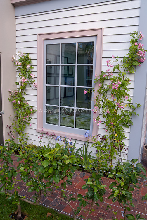 Roses trained against house next to window, in pink bloom with blue irises, pink herb chives, matching rim of home decor, with trained dwarf apple trees on wires next to brick path in edible landscape