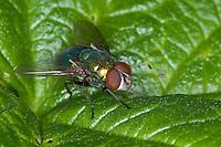 Goldfliege, Gold-Fliege, Männchen, Lucilia spec., greenbottle, green bottle fly, Schmeißfliegen, Calliphoridae