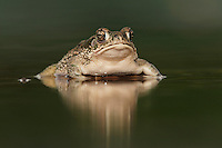 Texas Toad (Bufo speciosus), adult in pond, Laredo, Webb County, South Texas, USA