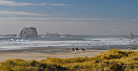 Wide perspective of 3 horse riders on Bandon Beach at low tide with sea stacks in background and grassy dunes in foreground. Bandon, Oregon.