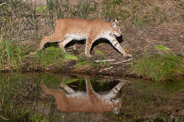 Siberian Lynx and its reflection walking along the edge of a pond - CA