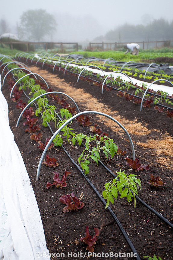 Tomato and lettuces in early spring hoop rows, Singing Frogs Farm