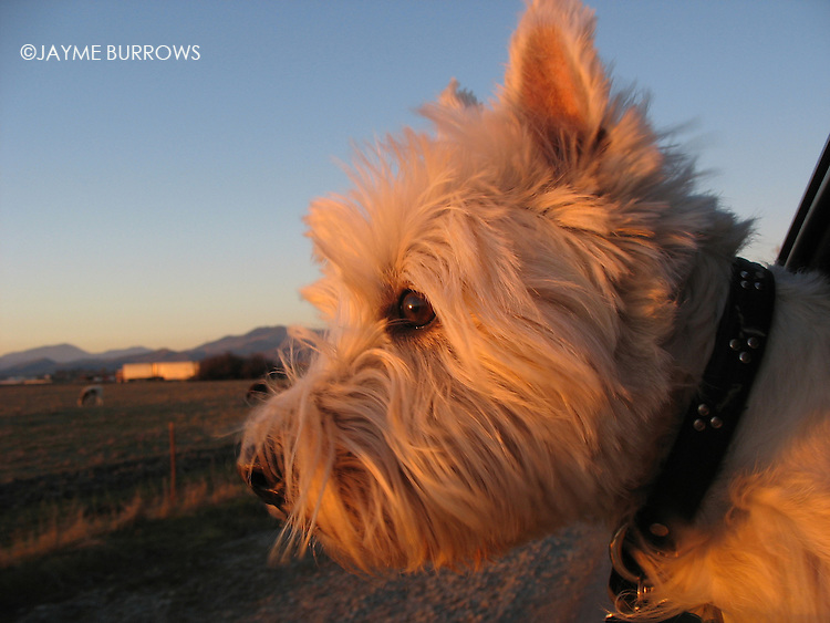 A happy West Highland White Terrier hangs his head out of a car window.