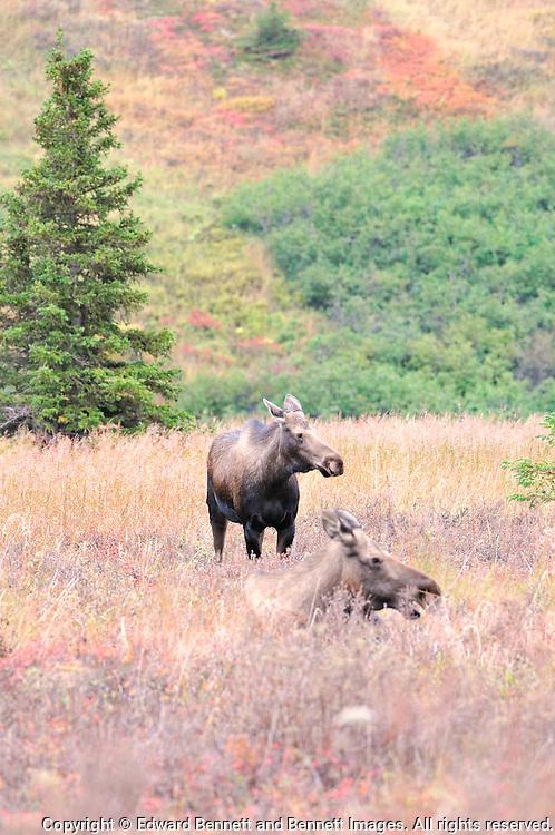 Two female moose in a fall field in Alaska's Chugach State Park.