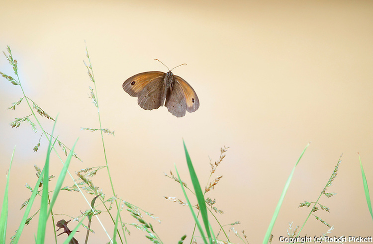 Meadow Brown Butterfly, Maniola jurtina, in flight over grasses, flying, wings, high speed photographic  flash technique.United Kingdom....