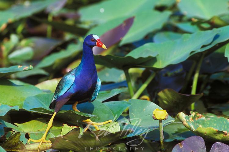 Purple Gallinule, Shark Valley, Everglades NP, FL, USA