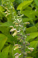 Salvia glutinosa, Jupiter's Distaff. Its sticky hairs trap insects