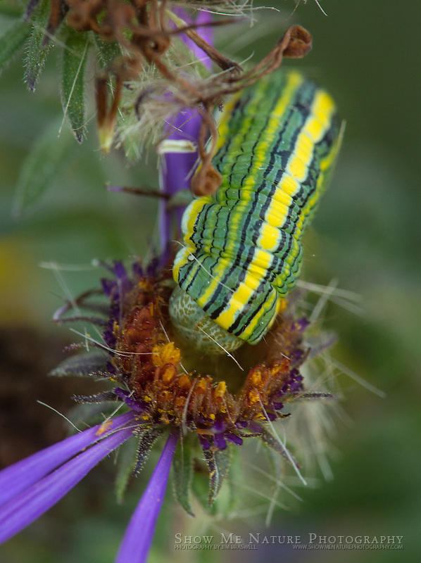 Asteroid Moth caterpillar dining on purple aster wildflowers