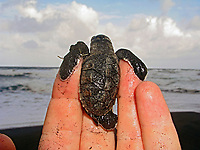 hawksbill sea turtle hatchling, Eretmochelys imbricata, resting in hand, Dominica, Caribbean, Atlantic Ocean