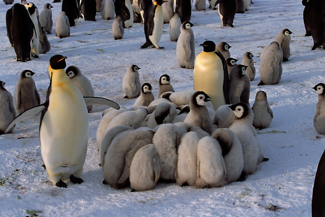 Adult Emperor Penguins watch chicks huddle for warmth as it gets colder. Atka Bay. Weddell Sea. Antarctica.