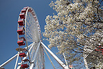 Ferris Wheel and tree in bloom at Navy Pier Park on Navy Pier, Chicago, IL, USA
