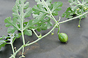 Young watermelon fruits growing under cover on  a plastic sheet mulch.