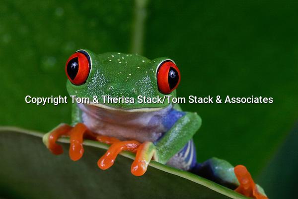 Red Eye Tree Frog, Agalychnis callidryas