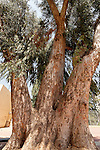 Israel, Sharon region. Eucalyptus tree in Hadera