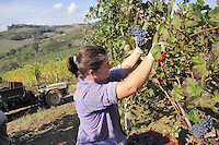 - grape harvest at &quot;Marasi&quot; wine farm in the province of Piacenza<br />