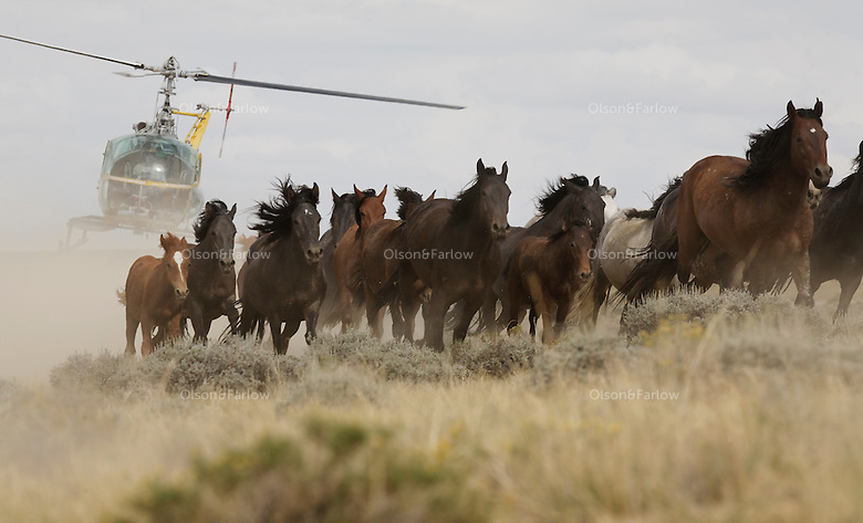 Dust flies and wild horses are driven by a helicopter into a trap in Wyoming during a BLM roundup.