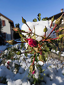 Bad Ragaz, Switzerland. Winter red rose bud in the snow.