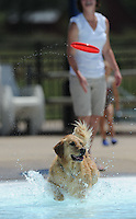 NWA Media/ANDY SHUPE - Val, a dog owned by Melissa Branch of Farmington, runs into a pool to chase a flying disc during the second Soggy Doggy Swim Party Saturday, Aug. 23, 2014, at the Prairie Grove Aquatic Park. The Friends of the Prairie Grove Pound hosted the event as a fundraiser for the facility. Visit nwamedia.photoshelter.com to see more photographs.