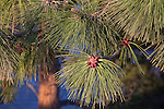 The buds of new Ponderosa Pine cones