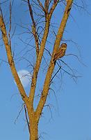 Great Gray Owl (Strix nebulosa) and moon. Ontario, Canada.