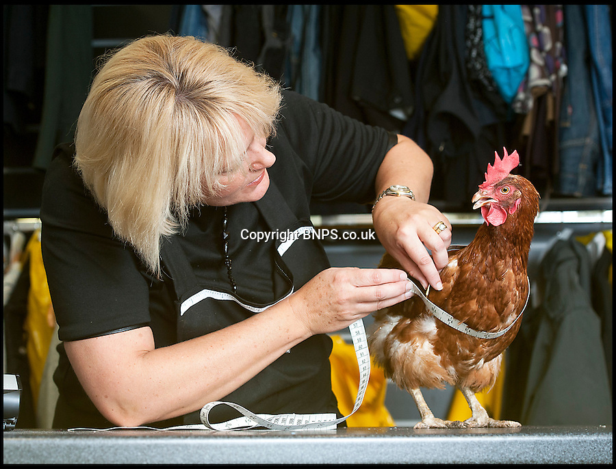 BNPS.co.uk (01202) 558833<br /> Picture: LauraJones/BNPS<br /> <br /> Margo the chicken being measured for her jacket by manageress at The Zip Yard in Winton, Dorset Sam Old<br /> <br /> These cosy chickens will certainly not feel the cold this winter, after having chic jackets specially made for them.<br /> <br /> The plucky pair, named Margot and Valerie, were rescued from a battery farm where they never left their cages or saw the outside world.<br /> <br /> New owner Trevor Stickley feared they wouldn't be able to tolerate the cold weather so took to the internet and discovered a company selling coats for chickens. They bought one of the custom garments and had it altered to fit Margot, before having a second tailor-made for Valerie at a clothing alterations company.