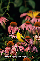 01640-04410 American Goldfinch (Carduelis tristis) male on Purple Coneflower, Marion Co. IL