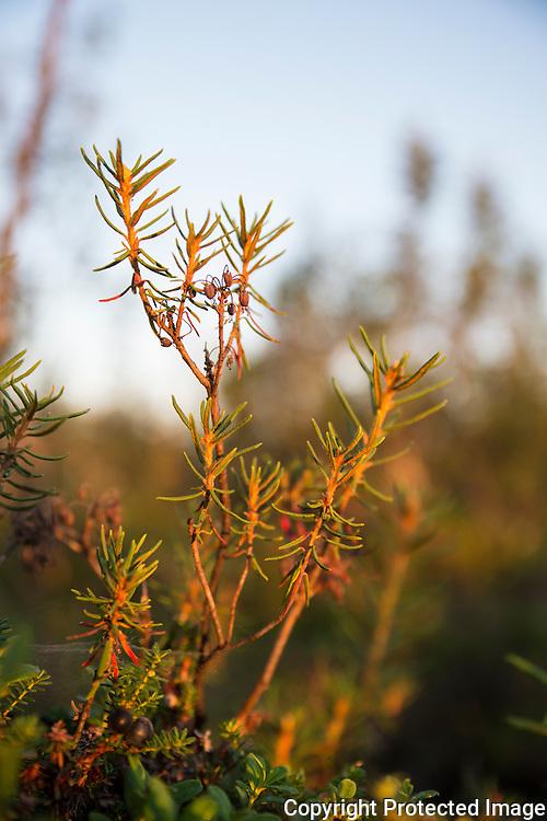 Finnmarkspors. ---- Wild rosmary