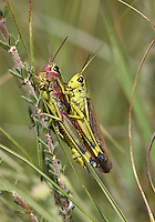 Large Marsh Grasshopper - Stethophyma grossum
