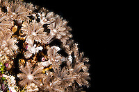A filter feeder soft coral, Yap Micronesia (Photo by Matt Considine - Images of Asia Collection)