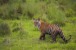 Bandhavgarh National Park, India; 17 months old Bengal tiger cub walking in short green grass of wet meadow, early morning, dry season