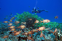 Diver (MR) and schooling bigscale soldierfish, Myripristis berndti and bluestripe snapper, Lutjanus kasmira,  Hawaii.