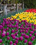 "Skagit County, WA               <br /> A variety of spring flowering tulips against a weathered split rail fence in the RoozenGaarde garden.     ""Courtesy of the Washington Bulb Co. Inc."""