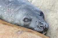 Southern Elephant Seal - Mirounga leonina