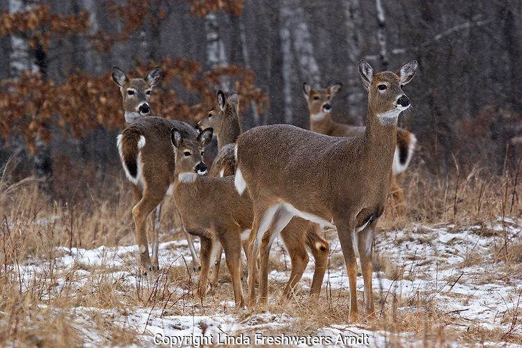 Female white-tailed deer (Odocoileus virginianus) standing, in the snow, next to the woods.  Group of deer include adults and fawns/yearlings.  Winter, WI.