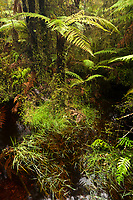 Tree ferns in Ship Creek bog, South Westland, West Coast, UNESCO World Heriatge Area, South Island, New Zealand, NZ