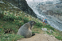 Alpine Marmot (Marmota marmota), adult at burrow watching people with glacier view, Saas Fee, Valais, Switzerland