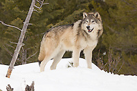Tundra Wolf standing in some snow in front of some trees - CA