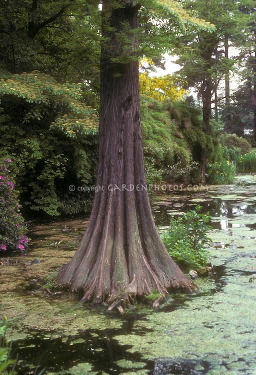 Baldcypress tree in wetlands Taxodium distichum