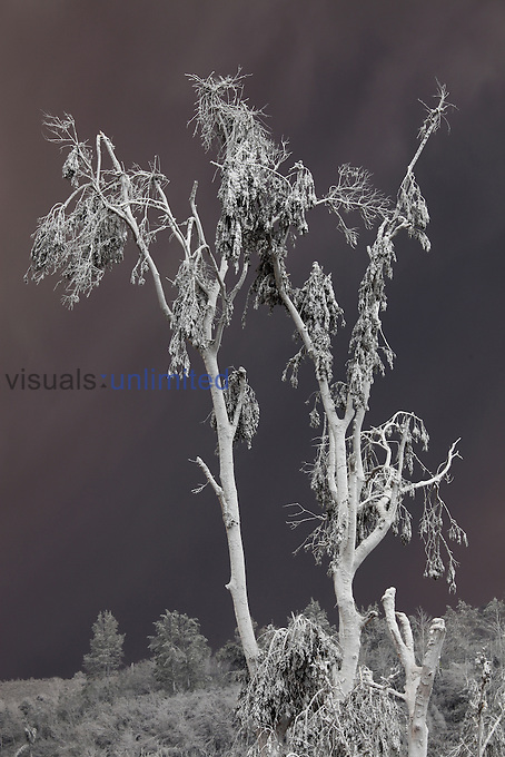 Tree damaged by heavy ash fall from Sinabung Volcano, Indonesia