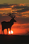 Red deer stag (Cervus elaphus) in silhouette at sunrise. Bedfordshire UK